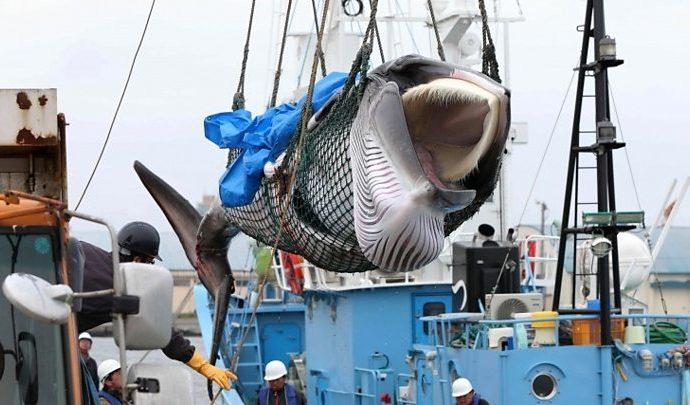 Los balleneros en Japón regresan a puerto con la primera captura comercial en 31 años